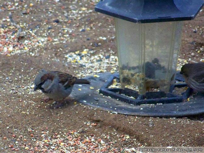 wesley 39 s backyard birds house sparrow